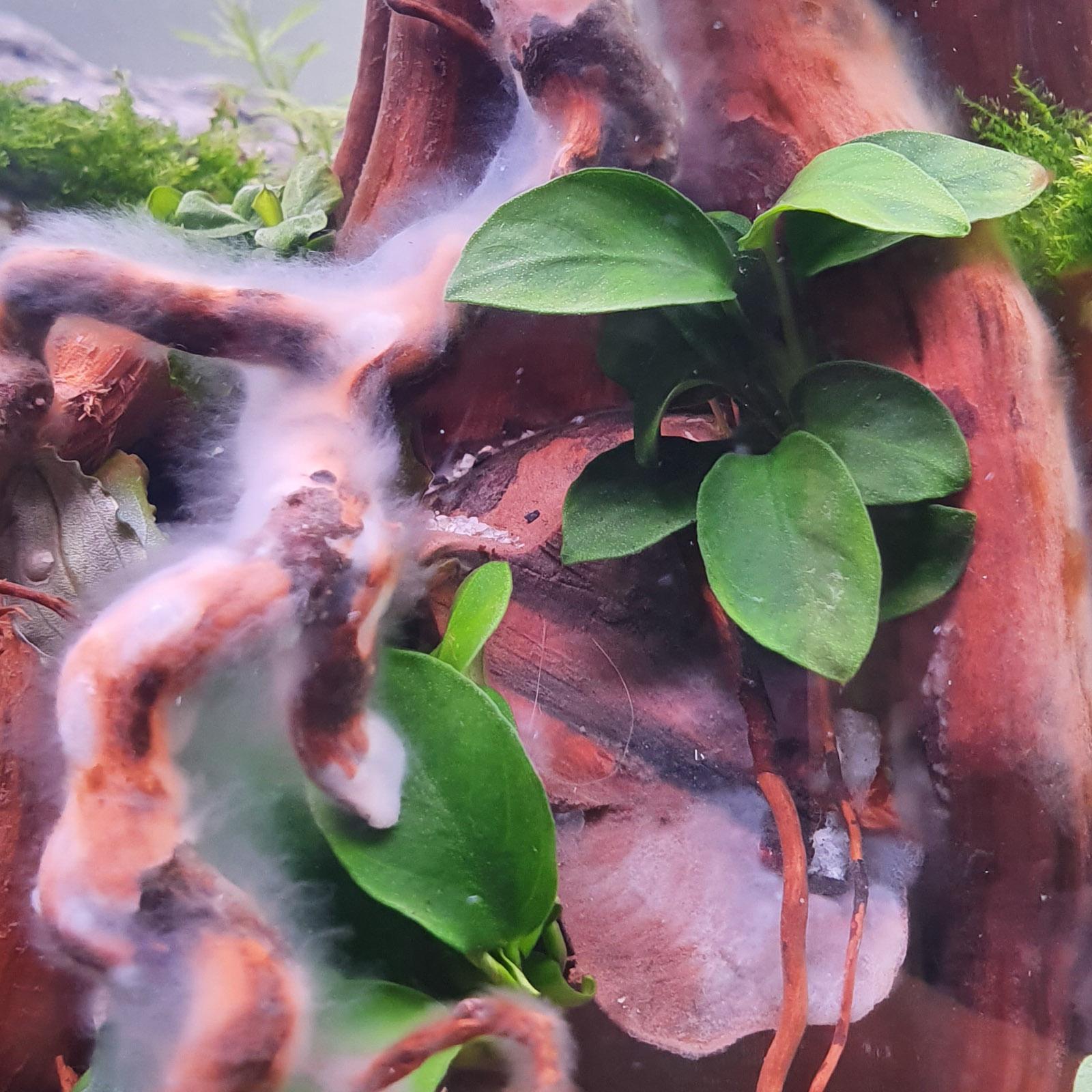 Bakterienrasen auf Moorkienwurzel