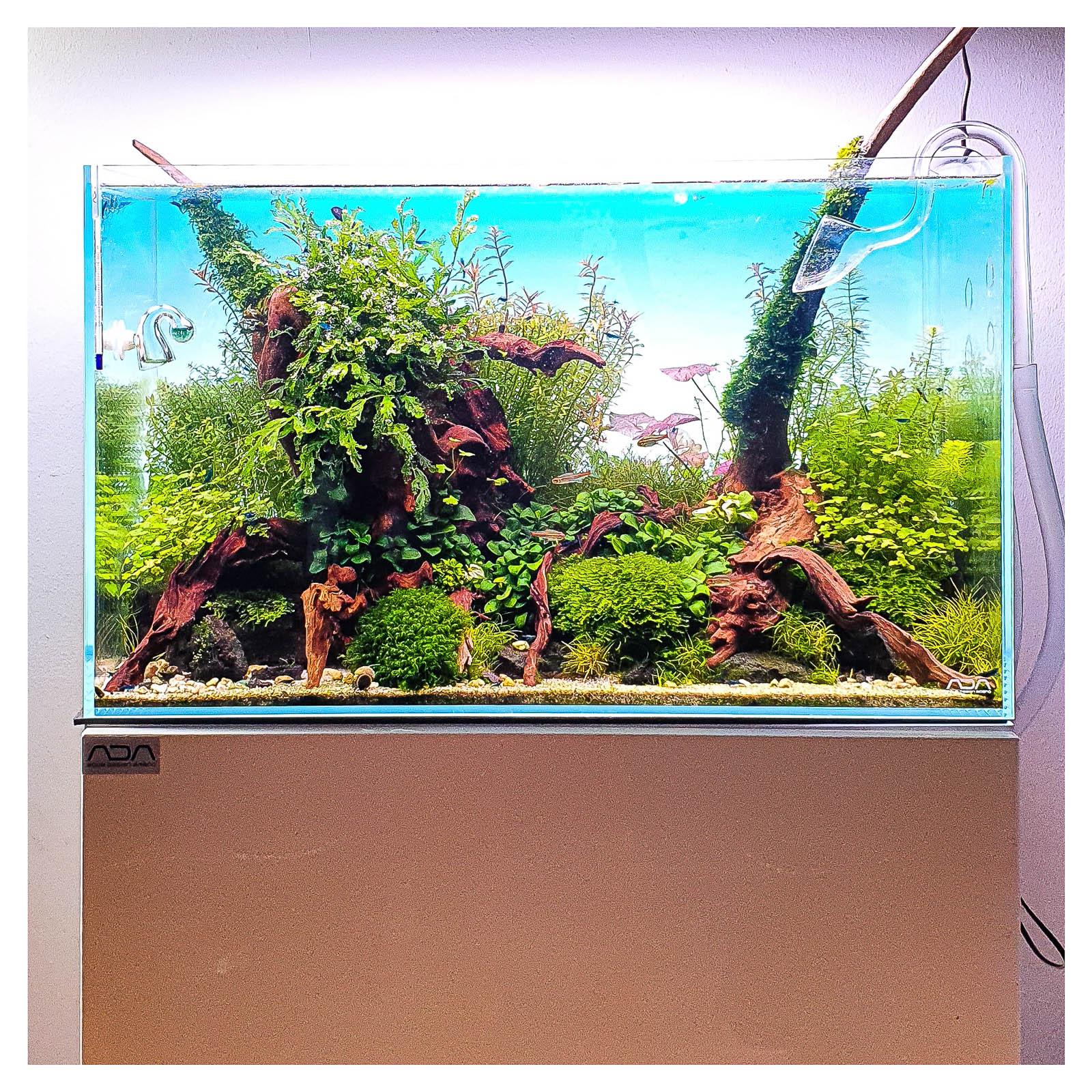 Flusswurzel in einem Nature Aquarium bewachsen mit Anubias und Bolbitis